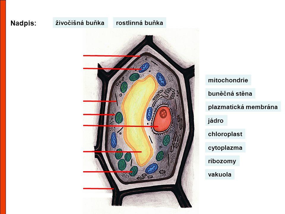 Nadpis: rostlinná buňkaživočišná buňka výběrové přijímání látek uvolňování energie vnitřní prostředí řízení dějů, rozmnožování vznik bílkovin zásoba látek fotosyntéza zpevnění a přijímání látek