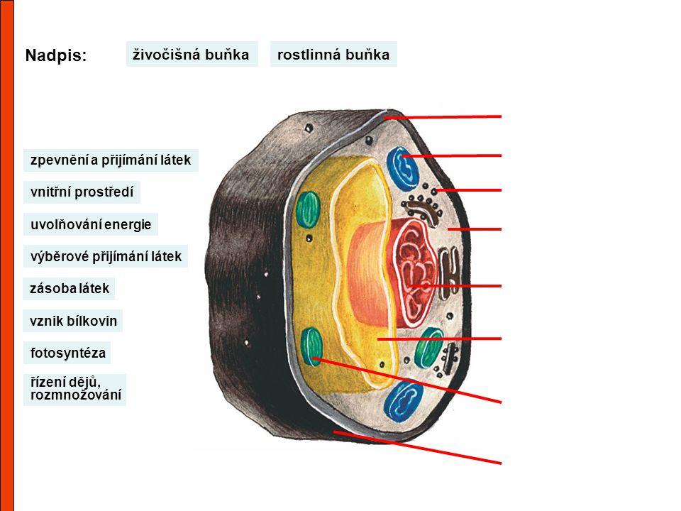 Nadpis: rostlinná buňkaživočišná buňka výběrové přijímání látek uvolňování energie vnitřní prostředí řízení dějů, rozmnožování vznik bílkovin zásoba l