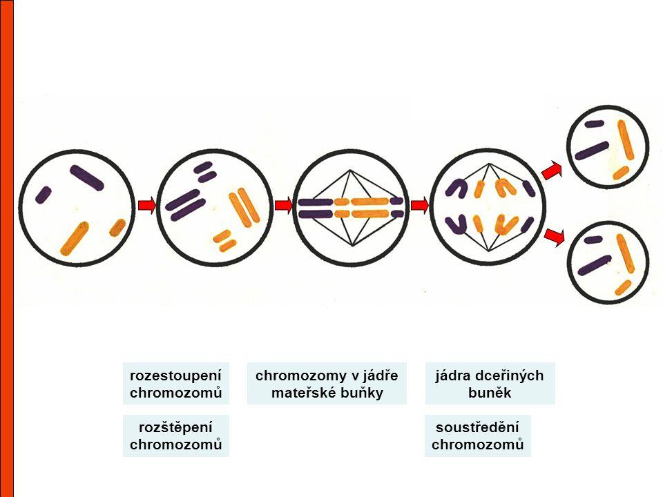 chromozomy v jádře mateřské buňky rozštěpení chromozomů soustředění chromozomů rozestoupení chromozomů jádra dceřiných buněk