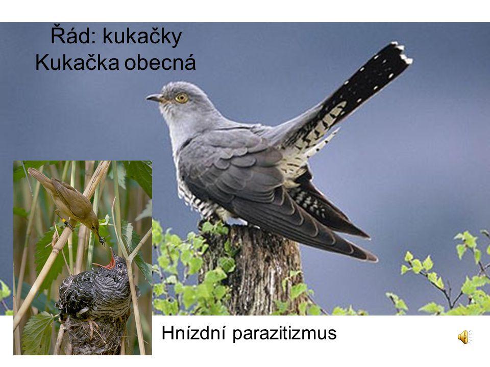 Řád: kukačky Kukačka obecná Hnízdní parazitizmus