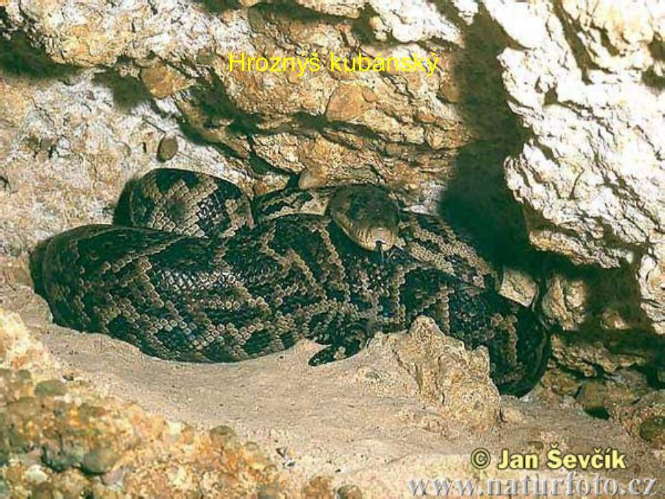 Anakonda velká -Žije v Amazonce a Orinoku, nejmohutnější had (až 10 m) -Převážně vodní -Hmotnost az 300kg