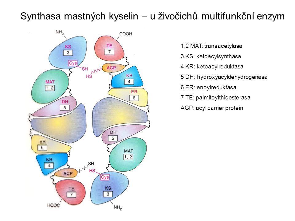 Synthasa mastných kyselin – u živočichů multifunkční enzym 1,2 MAT: transacetylasa 3 KS: ketoacylsynthasa 4 KR: ketoacylreduktasa 5 DH: hydroxyacyldeh