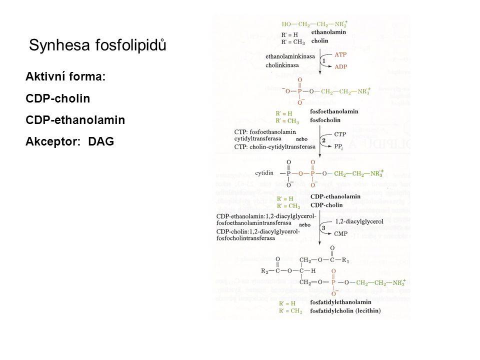 Synhesa fosfolipidů Aktivní forma: CDP-cholin CDP-ethanolamin Akceptor: DAG