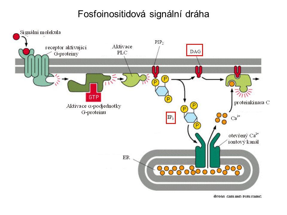 Fosfoinositidová signální dráha PIP 2 DAG