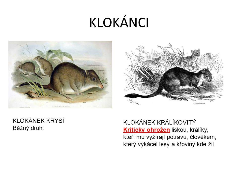 KLOKÁNCI KLOKÁNEK KRYSÍ Běžný druh. KLOKÁNEK KRÁLÍKOVITÝ Kriticky ohrožen liškou, králíky, kteří mu vyžírají potravu, člověkem, který vykácel lesy a k