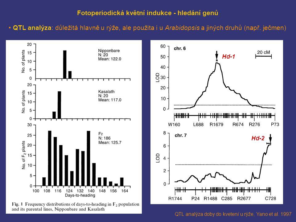 QTL analýza doby do kvetení u rýže, Yano et al. 1997 Hd-1 Hd-2 Fotoperiodická květní indukce - hledání genů QTL analýza: důležitá hlavně u rýže, ale p