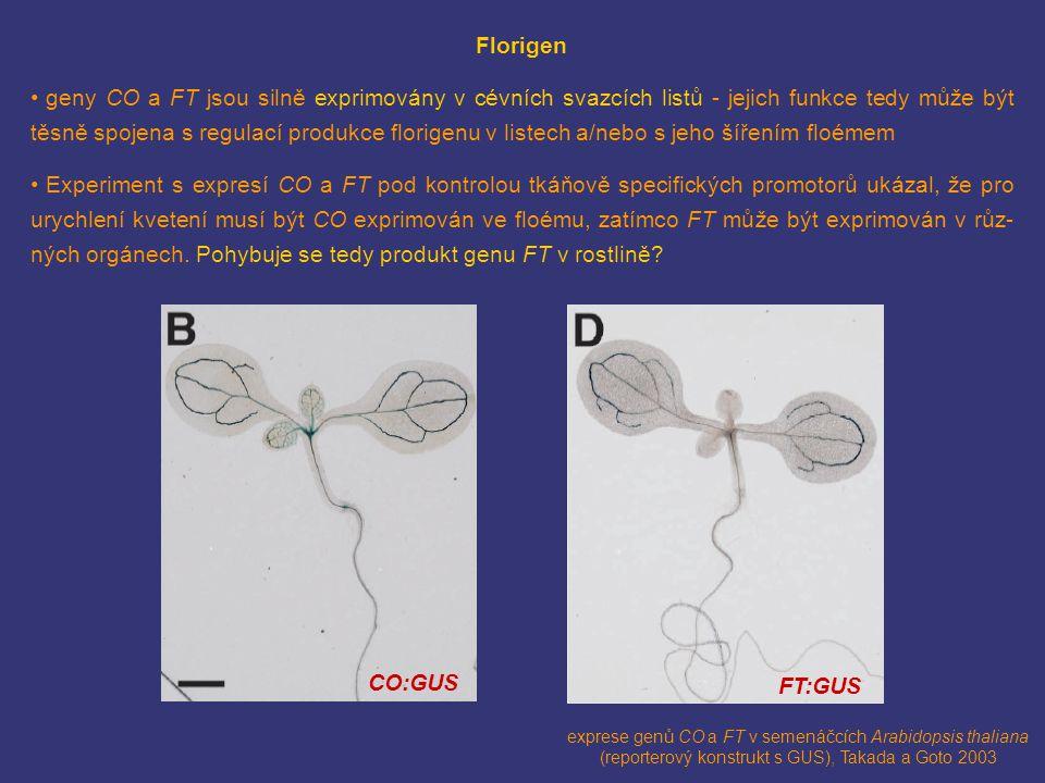 CO:GUS FT:GUS exprese genů CO a FT v semenáčcích Arabidopsis thaliana (reporterový konstrukt s GUS), Takada a Goto 2003 Florigen geny CO a FT jsou sil