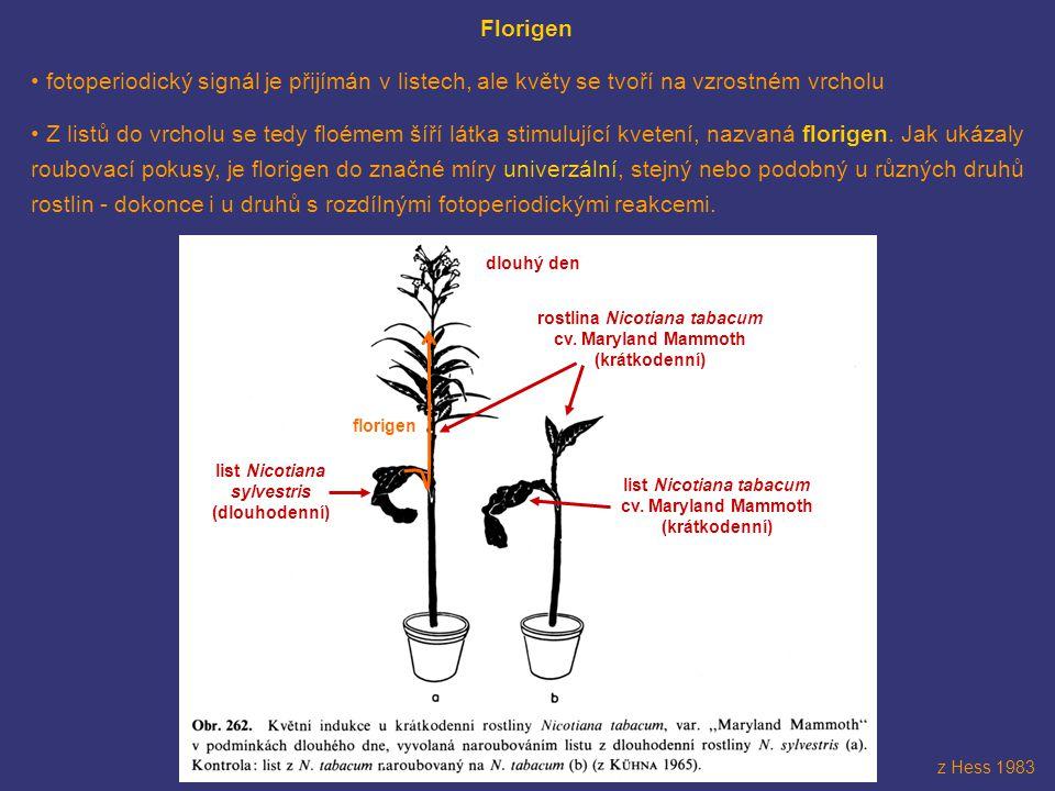 Florigen fotoperiodický signál je přijímán v listech, ale květy se tvoří na vzrostném vrcholu Z listů do vrcholu se tedy floémem šíří látka stimulujíc