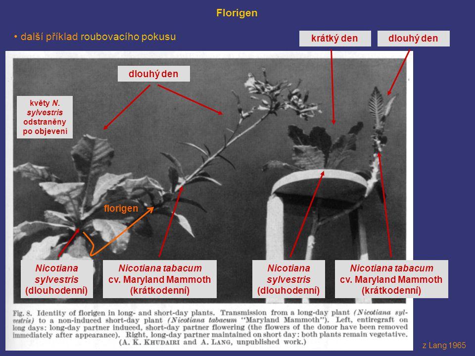 sem nějaký obrázek s roubováním z Lang 1965 Florigen další příklad roubovacího pokusu florigen dlouhý den Nicotiana sylvestris (dlouhodenní) Nicotiana
