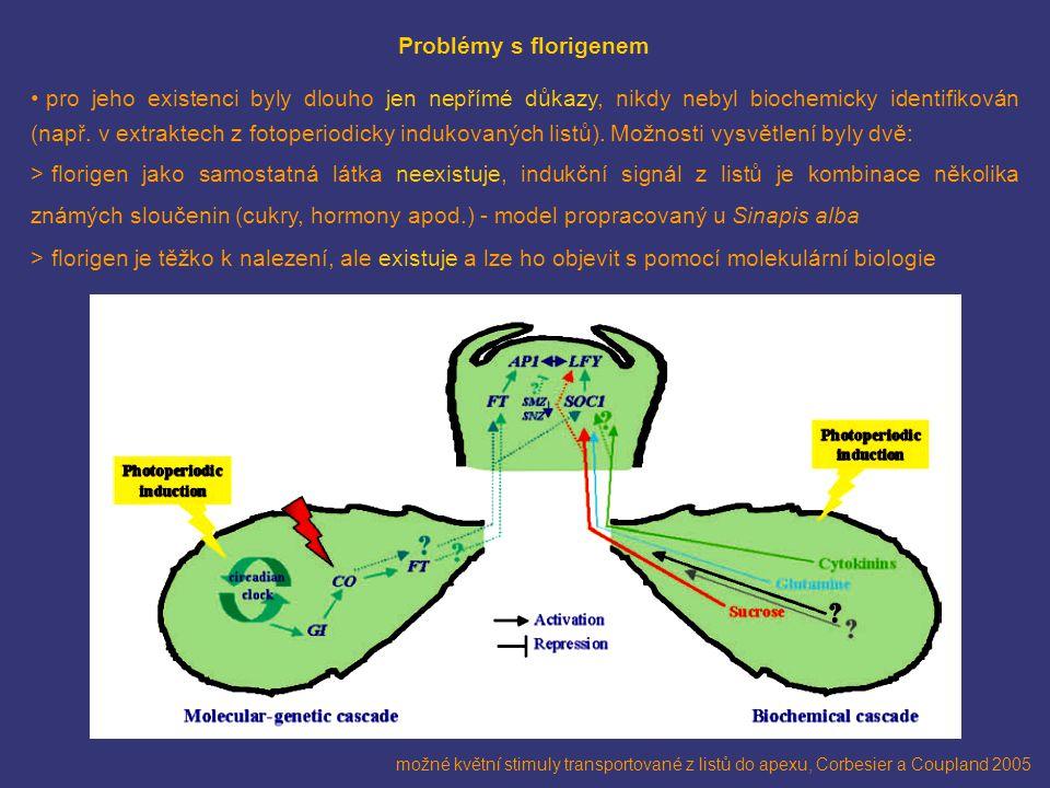 možné květní stimuly transportované z listů do apexu, Corbesier a Coupland 2005 Problémy s florigenem pro jeho existenci byly dlouho jen nepřímé důkaz