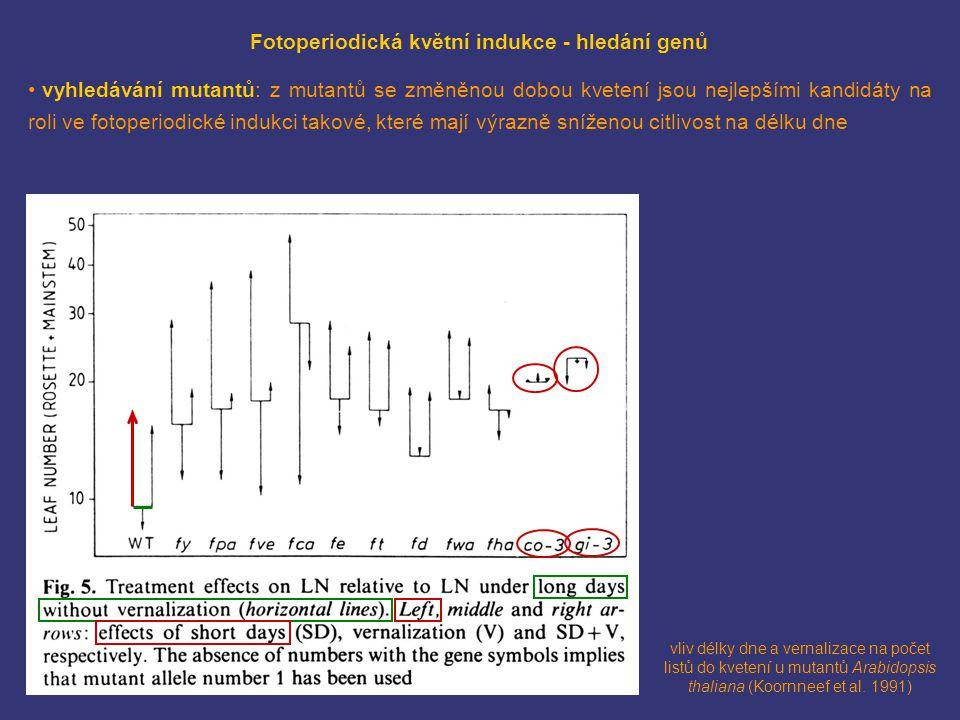 Hd3a (ortolog FT) ve vzrostném vrcholu rýže: lokalizace fúzního proteinu Hd3a-GFP (Tamaki et al.