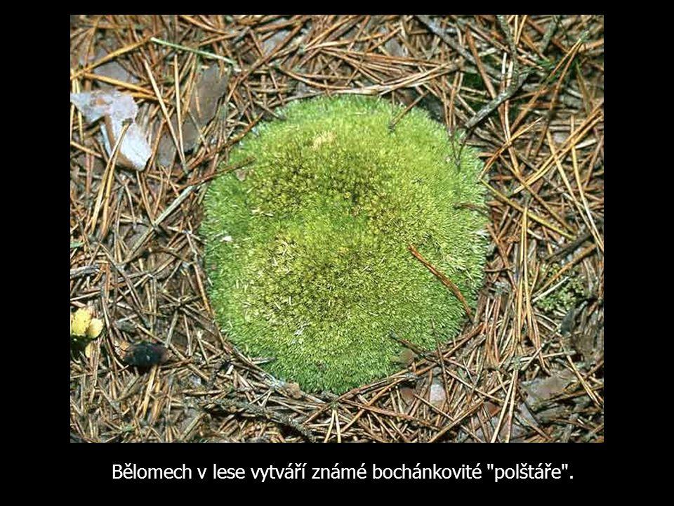 Bělomech v lese vytváří známé bochánkovité polštáře .