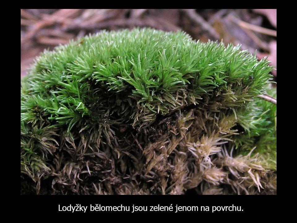 Lodyžky bělomechu jsou zelené jenom na povrchu.