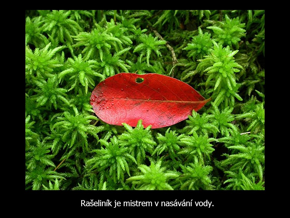 Rašeliník je mistrem v nasávání vody.