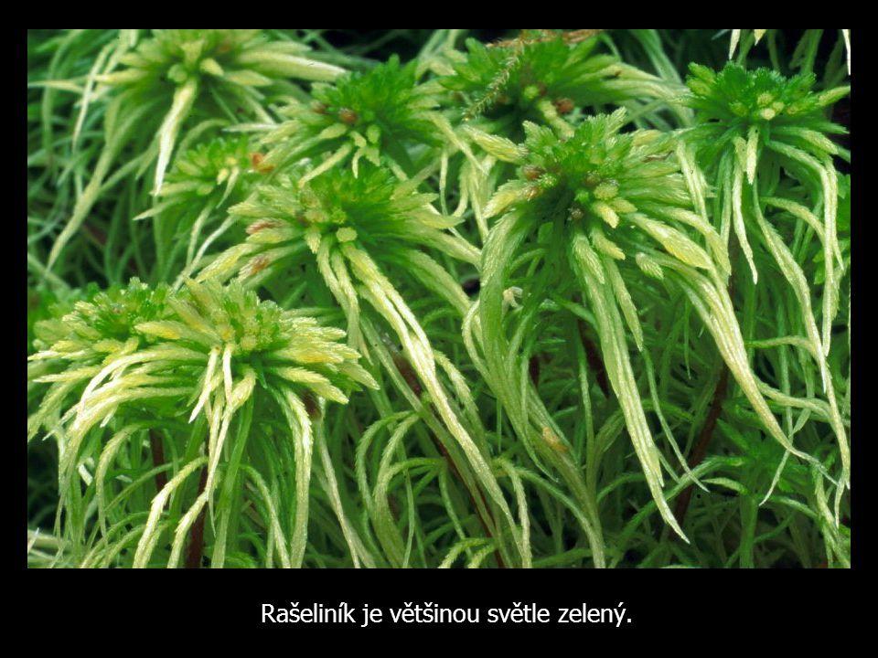 Rašeliník je většinou světle zelený.