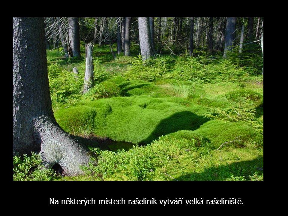 Na některých místech rašeliník vytváří velká rašeliniště.