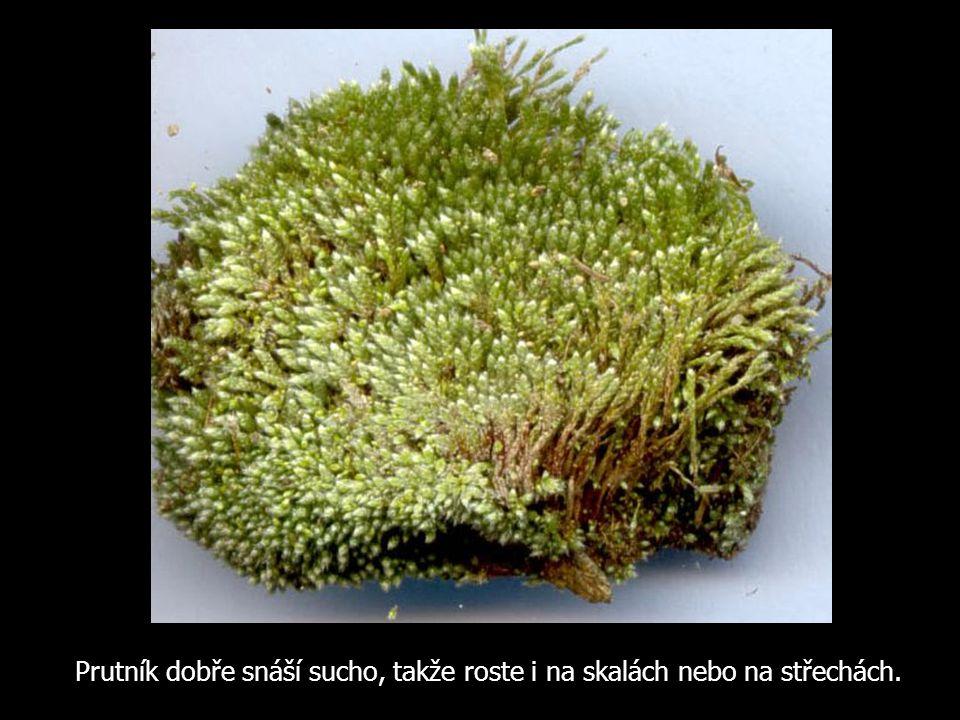 Prutník dobře snáší sucho, takže roste i na skalách nebo na střechách.