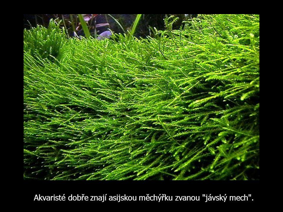 Akvaristé dobře znají asijskou měchýřku zvanou jávský mech .