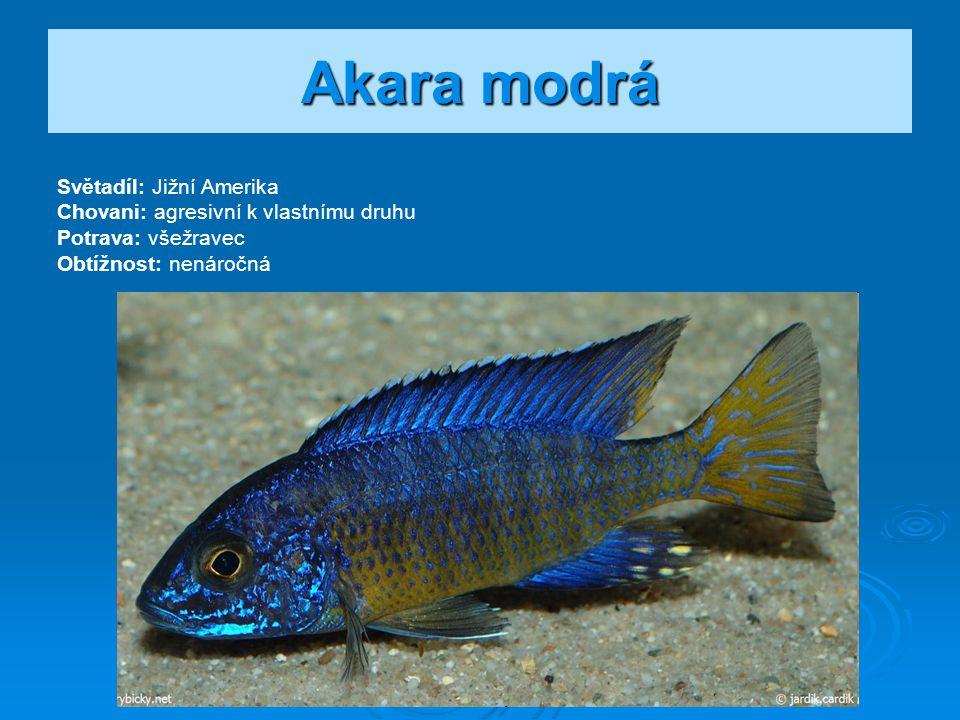 Akara modrá Světadíl: Jižní Amerika Chovani: agresivní k vlastnímu druhu Potrava: všežravec Obtížnost: nenáročná