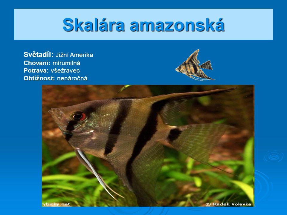 Skalára amazonská Světadíl: Jižní Amerika Chovani: mírumilná Potrava: všežravec Obtížnost: nenáročná