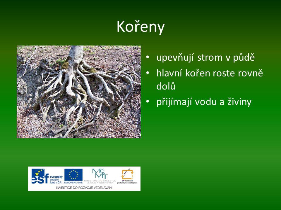 Kořeny upevňují strom v půdě hlavní kořen roste rovně dolů přijímají vodu a živiny [4][4]