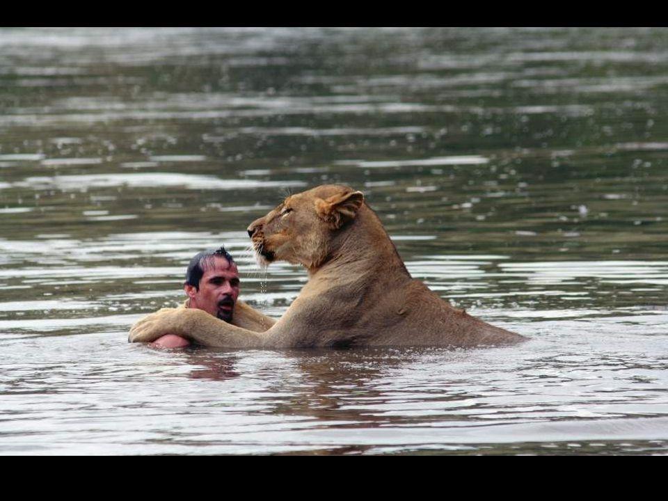 Tento lev nemá moc rád vodu, ale pokud se ho přítel zeptá….není pochyb a objetí napoví vše…….