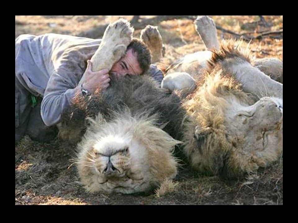 Tento lev známý jako král džungle, může ukázat svou agresivní image. Kevin ho však objímá, jako kdyby se jednalo o pouhé koťátko. ˇUžasná věc je, že t