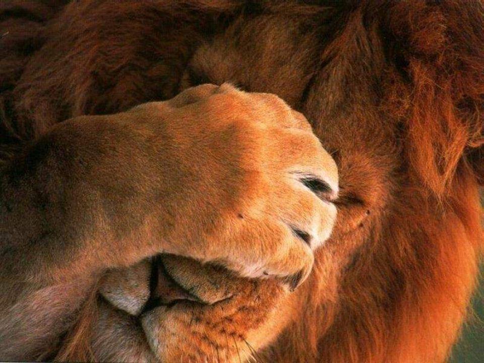 Tento lev známý jako král džungle, může ukázat svou agresivní image.