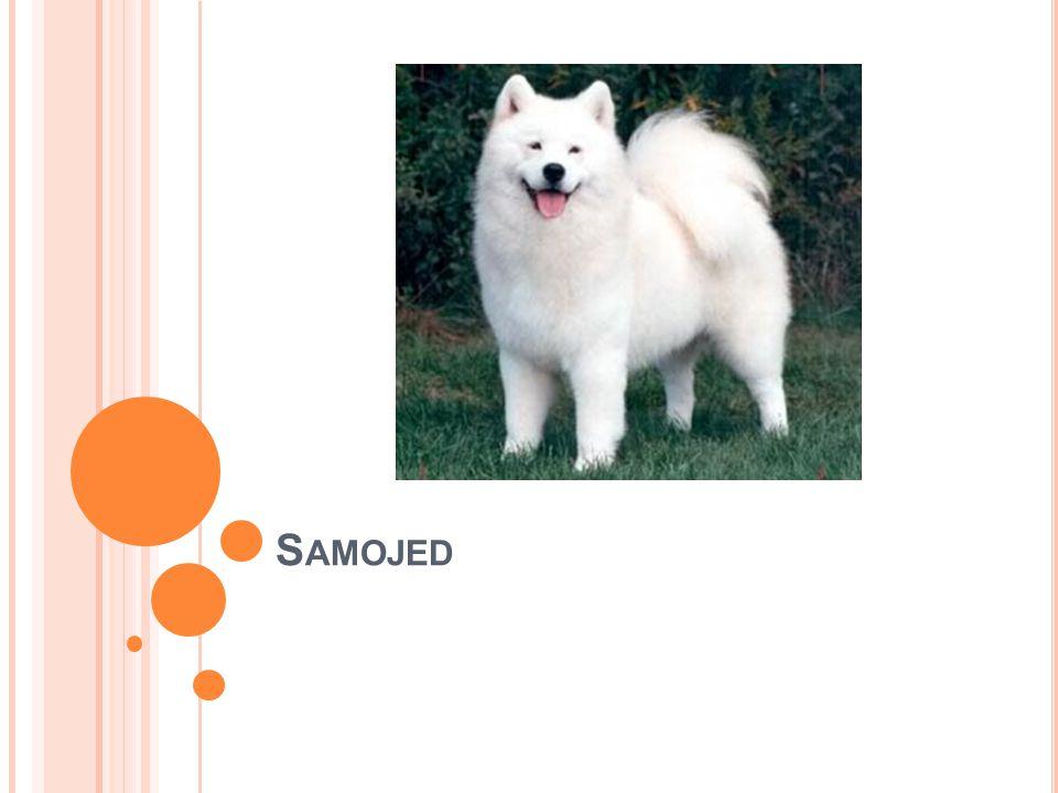 Rasa Samojed  Země původu je Rusko  Hmotnost je 23-30 kg  Výška 53-57 cm  Barva sněhově nebo krémově bílá  Velmi staré plemeno sibiřského psa  Má rád dospělé i děti  Není vůbec agresivní