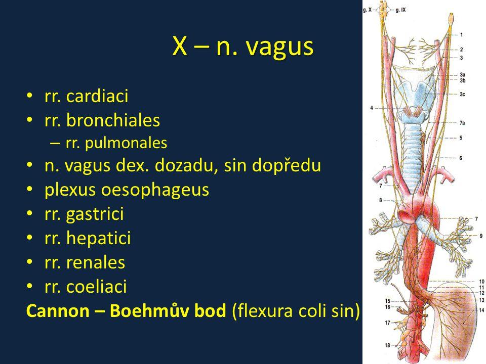 X – n. vagus rr. cardiaci rr. bronchiales – rr. pulmonales n. vagus dex. dozadu, sin dopředu plexus oesophageus rr. gastrici rr. hepatici rr. renales