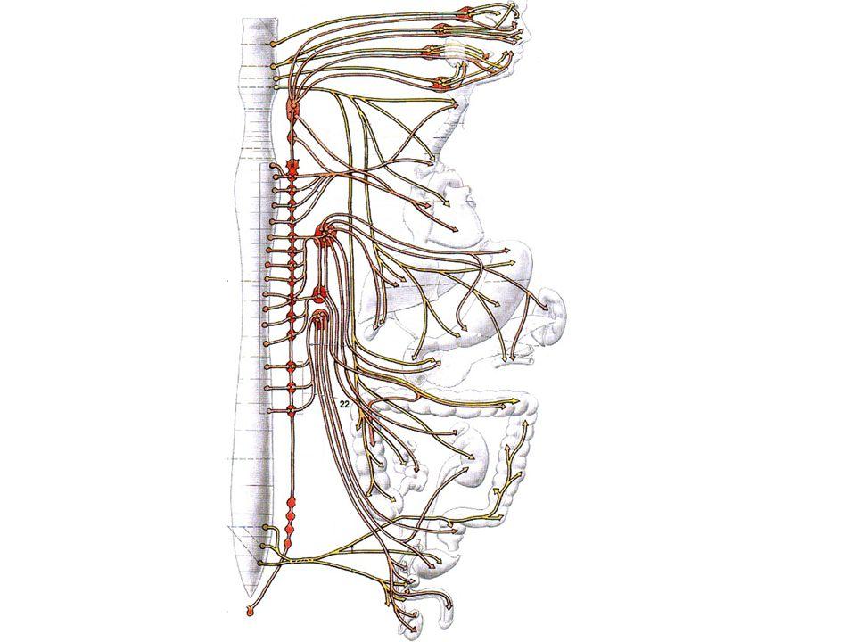 PARS SYMPATHICA (thorako-lumbální systém)