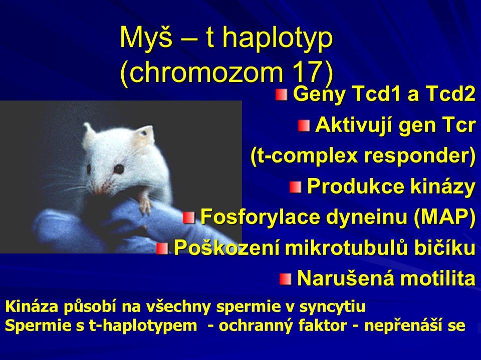 Myš – t haplotyp (chromozom 17) Geny Tcd1 a Tcd2 Aktivují gen Tcr (t-complex responder) (t-complex responder) Produkce kinázy Fosforylace dyneinu (MAP