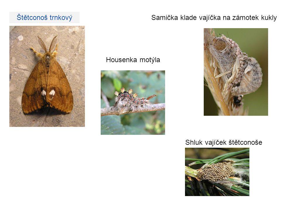 Štětconoš trnkový Housenka motýla Shluk vajíček štětconoše Samička klade vajíčka na zámotek kukly
