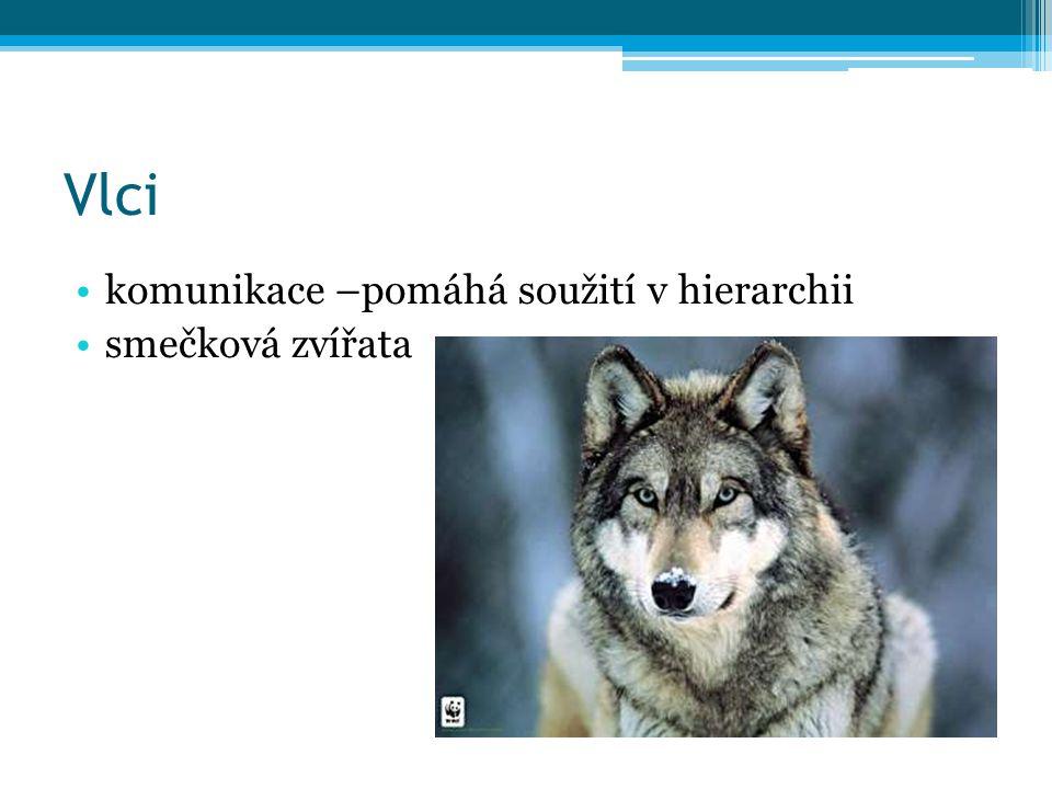 Vlci komunikace –pomáhá soužití v hierarchii smečková zvířata