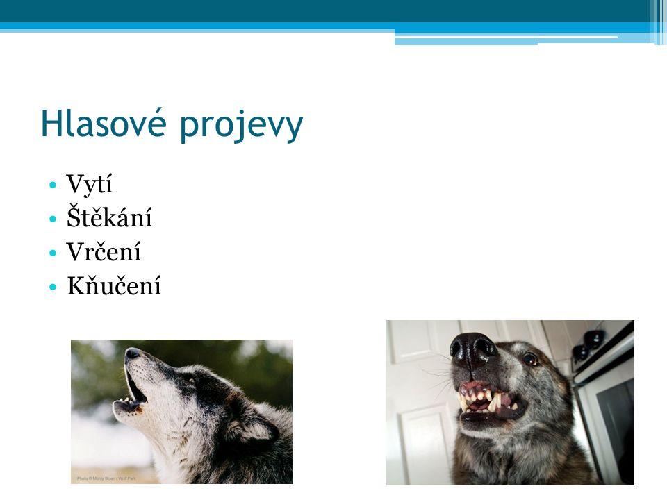 Vytí vlků Vzdálenost až 16 km Vokální aktivita má vrchol kolem 18 hod 43% případů –komunikace s ostatními členy smečky Funkce: komunikace, ubránění teritoria, redukce pravděpodobnosti setkání Informace o věku, sociálním statutu atd.