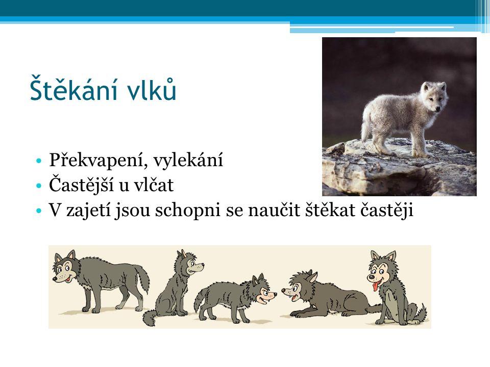 Štěkání vlků Překvapení, vylekání Častější u vlčat V zajetí jsou schopni se naučit štěkat častěji