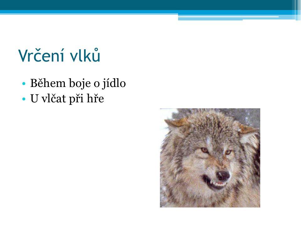 Kňučení vlků Může být u vytí Úzkost, zvědavost, intimnosti Krmení vlčat