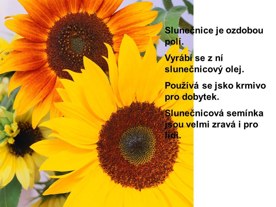 Slunečnice je ozdobou polí. Vyrábí se z ní slunečnicový olej. Používá se jsko krmivo pro dobytek. Slunečnicová semínka jsou velmi zravá i pro lidi.