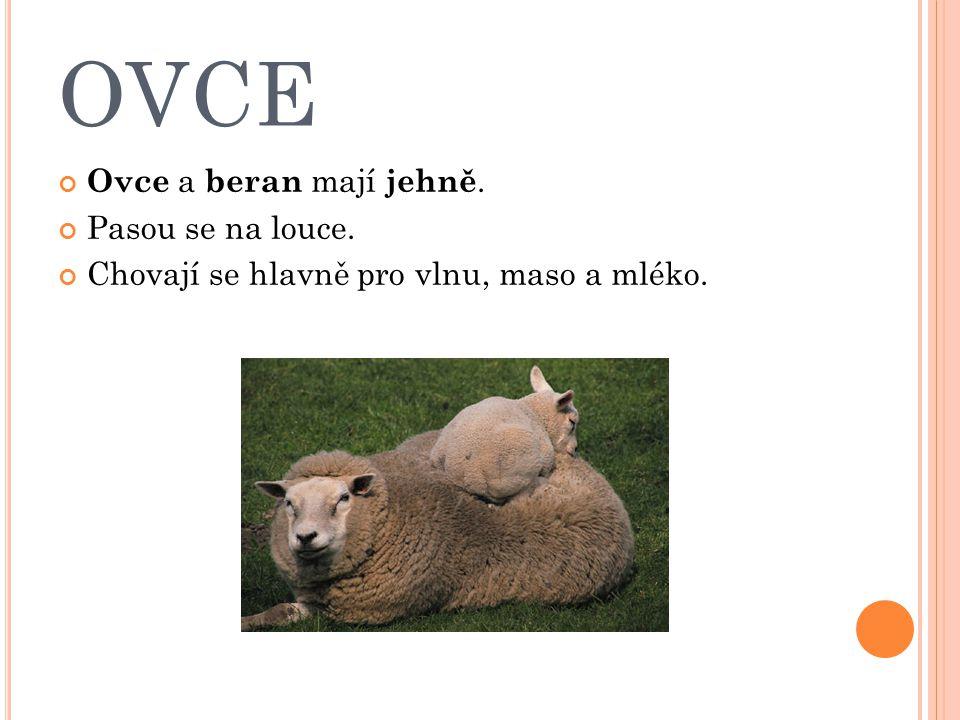 OVCE Ovce a beran mají jehně. Pasou se na louce. Chovají se hlavně pro vlnu, maso a mléko.