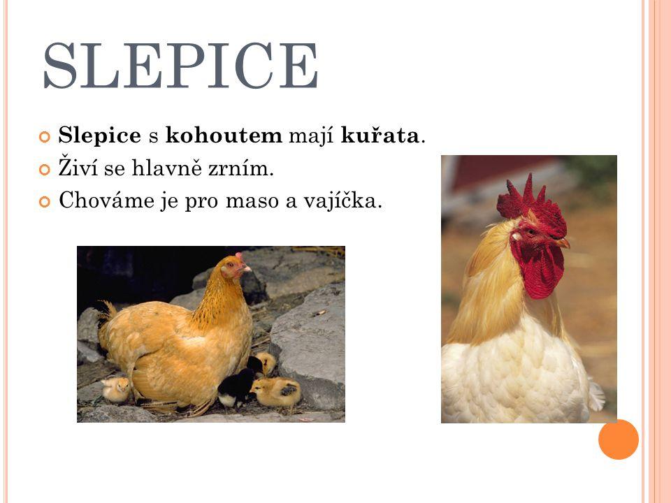 SLEPICE Slepice s kohoutem mají kuřata. Živí se hlavně zrním. Chováme je pro maso a vajíčka.