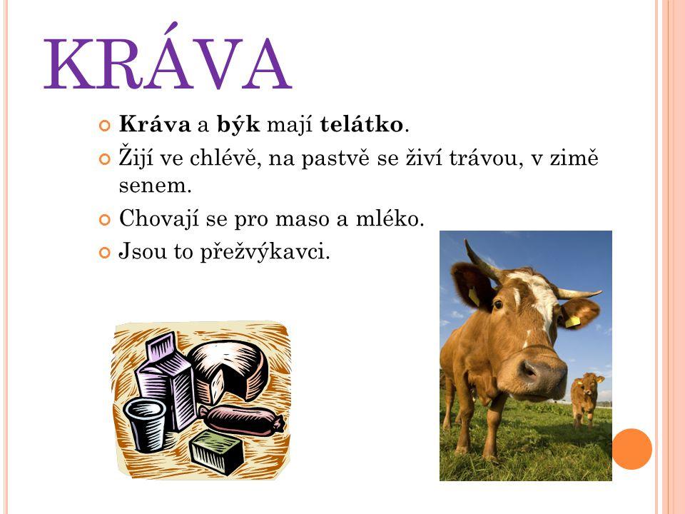 KRÁVA Kráva a býk mají telátko. Žijí ve chlévě, na pastvě se živí trávou, v zimě senem. Chovají se pro maso a mléko. Jsou to přežvýkavci.
