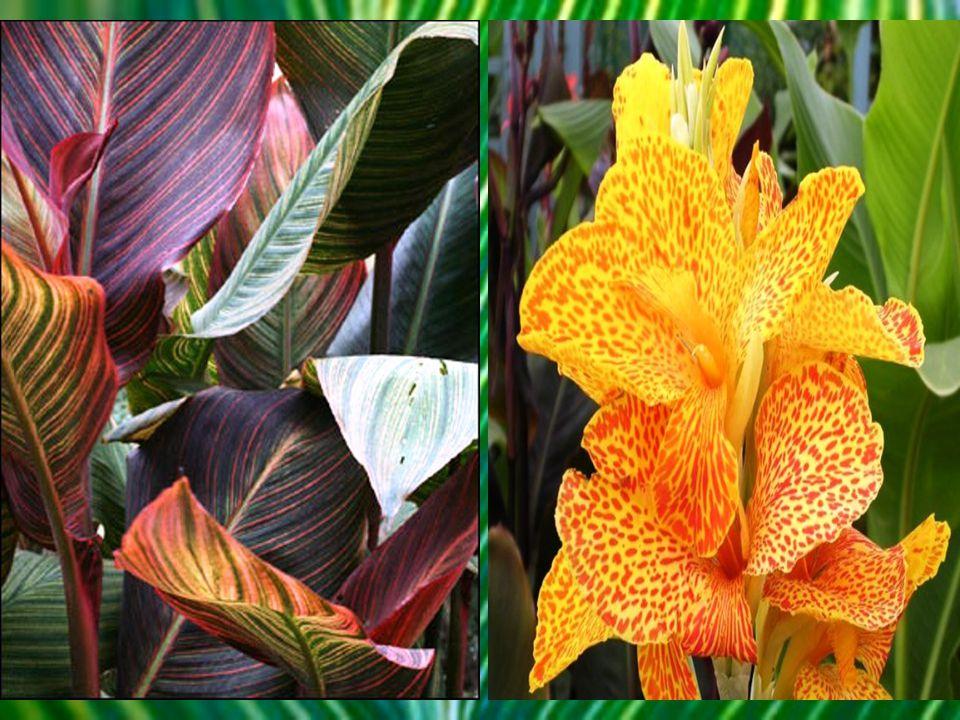 Je vysoká tropická rostlina s atraktivními listy a květy příbuzná banánovníku. Název canna pochází z keltského výrazu pro cukrovou třtinu nebo rákos.