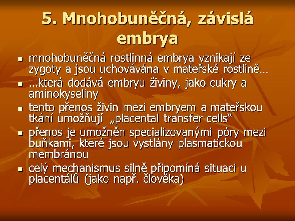 5. Mnohobuněčná, závislá embrya mnohobuněčná rostlinná embrya vznikají ze zygoty a jsou uchovávána v mateřské rostlině… mnohobuněčná rostlinná embrya