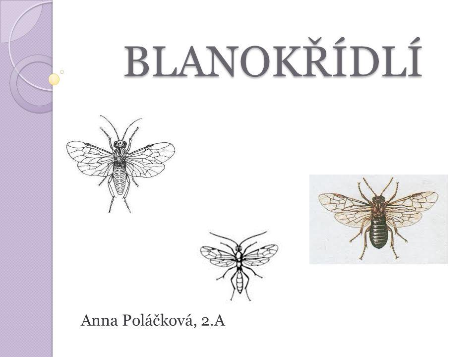 BLANOKŘÍDLÍ BLANOKŘÍDLÍ Anna Poláčková, 2.A