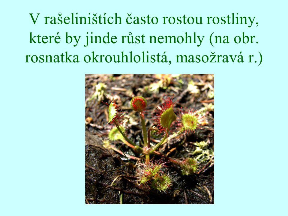 V rašeliništích často rostou rostliny, které by jinde růst nemohly (na obr.