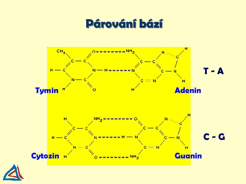 Párování bází TyminAdenin CytozinGuanin T - A C - G