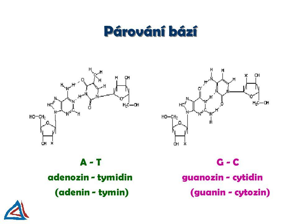Párování bází A - TG - C adenozin - tymidinguanozin - cytidin (adenin - tymin)(guanin - cytozin)