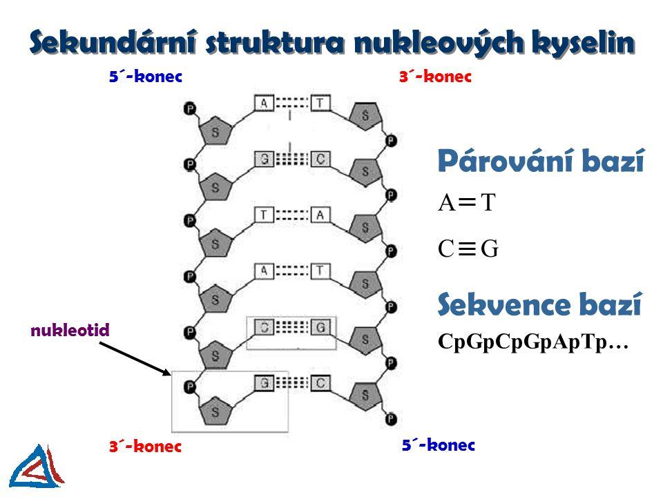 Párování bazí 5´-konec 3´-konec nukleotid A T C G Sekvence bazí CpGpCpGpApTp… Sekundární struktura nukleových kyselin