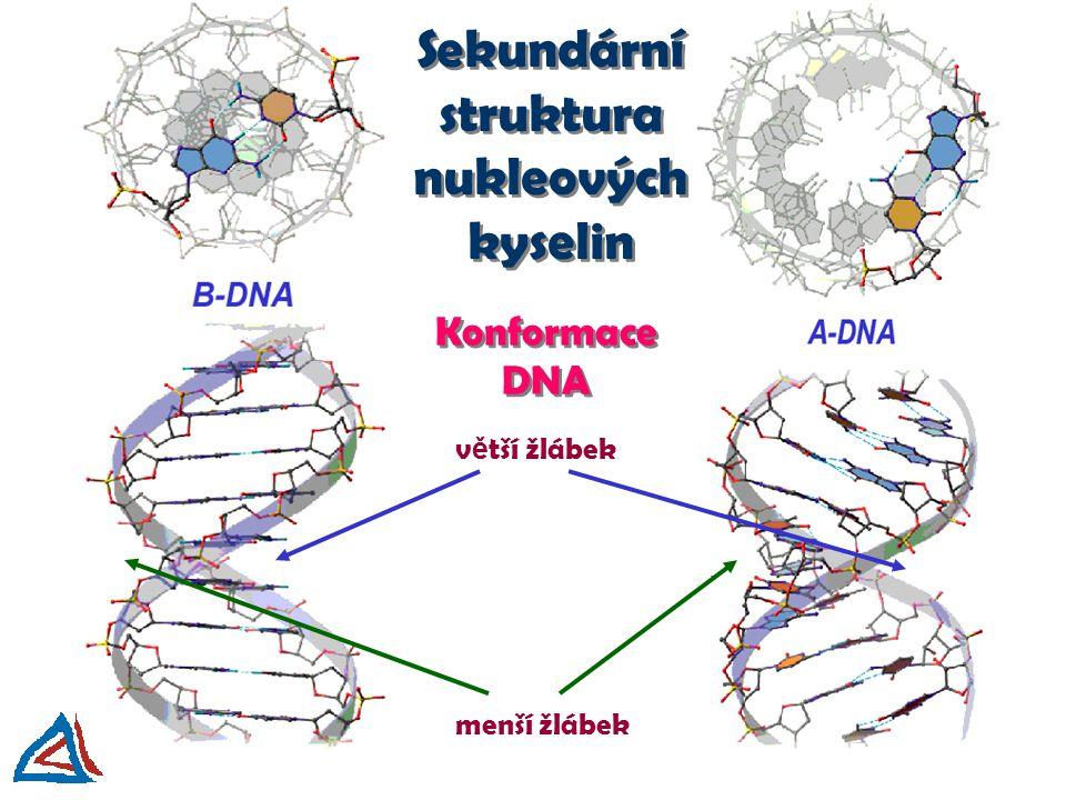 Konformace DNA v ě tší žlábek menší žlábek Sekundární struktura nukleových kyselin