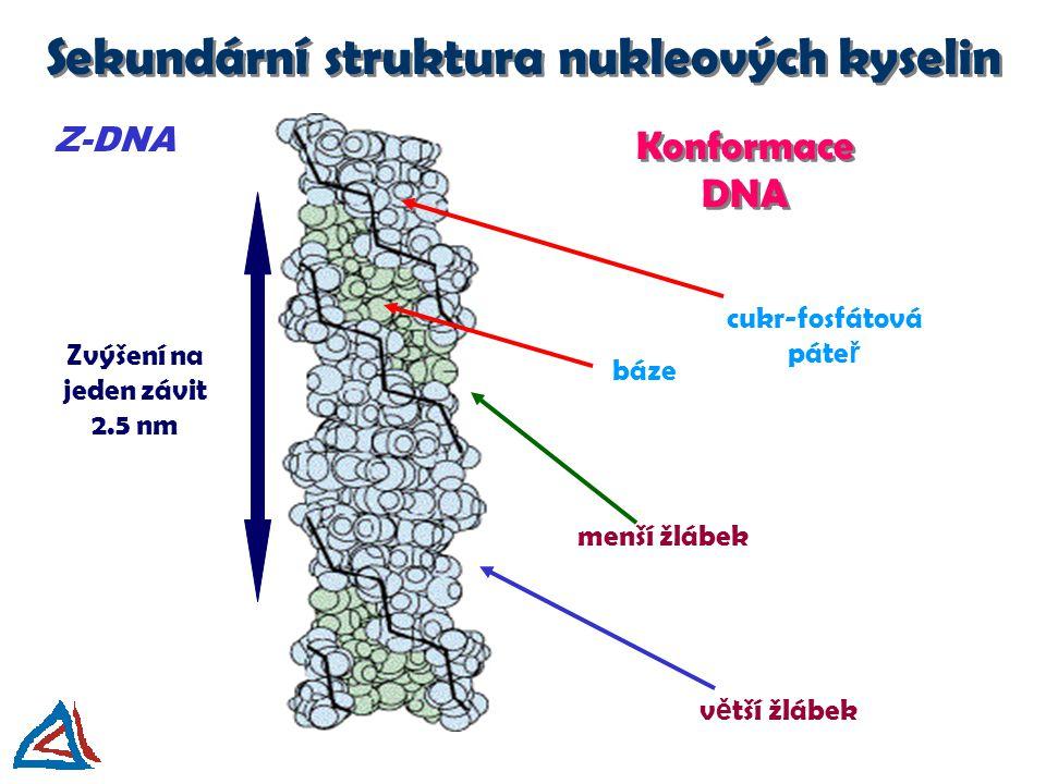 Konformace DNA Z-DNA v ě tší žlábek menší žlábek báze cukr-fosfátová páte ř Zvýšení na jeden závit 2.5 nm Sekundární struktura nukleových kyselin